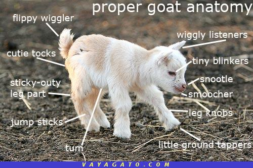 Cabra correcta anatomía